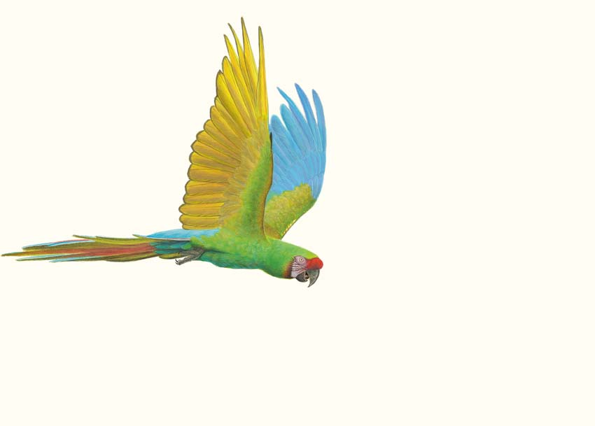 The Richard Weatherly Online Store Military Macaw