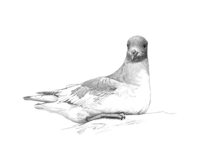 Antarctic Petrel (at rest)