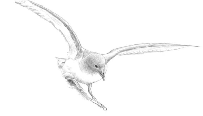 Antarctic Petrel (restless)