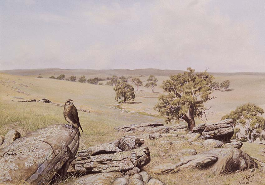 Brown Falcon at Tungkillo - SA