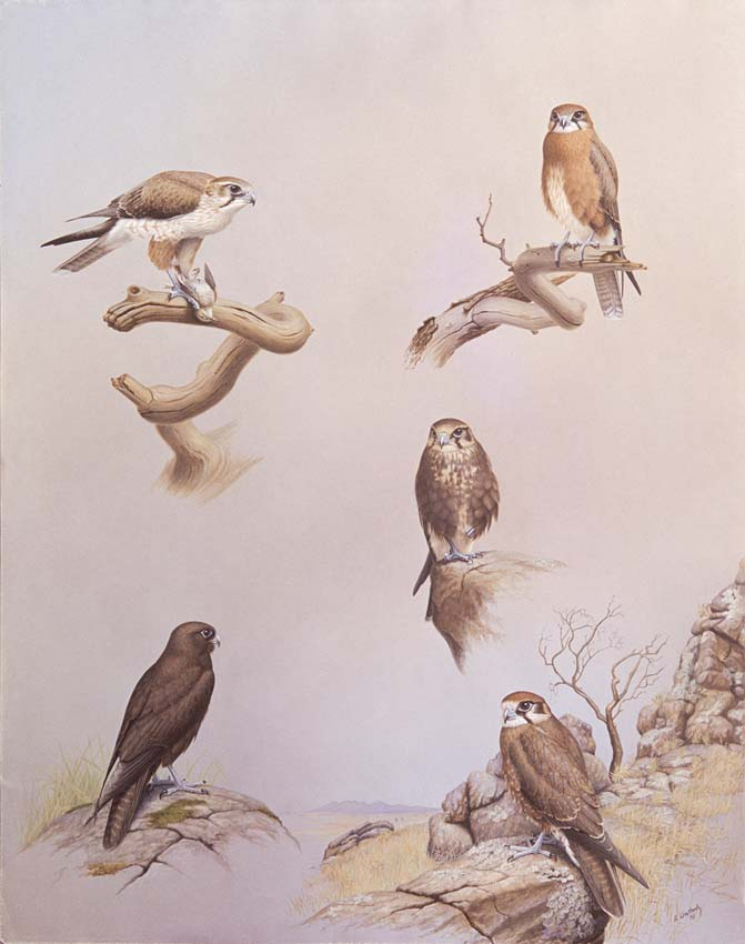 Brown Falcon Plumage Variations