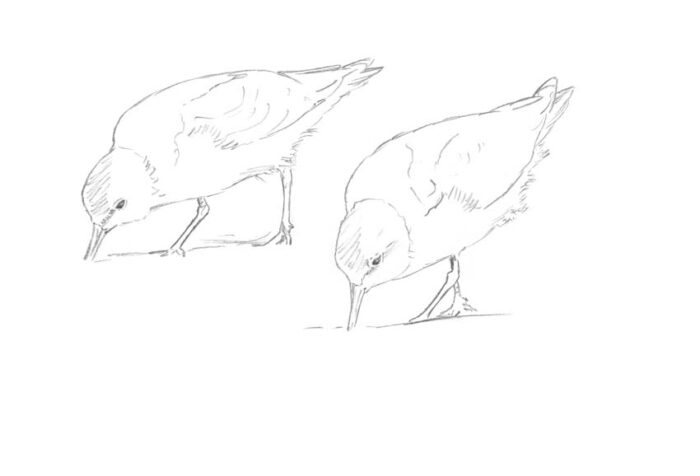 Red-necked Stints