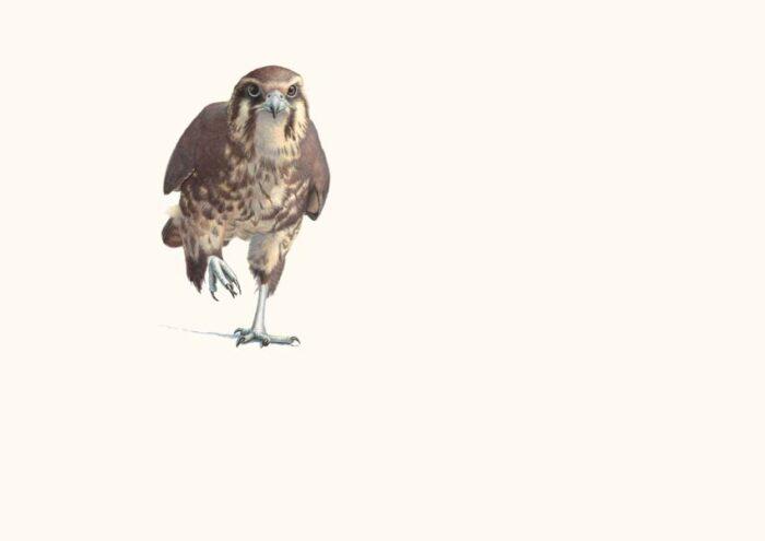 Shinshu, Brown Falcon Running